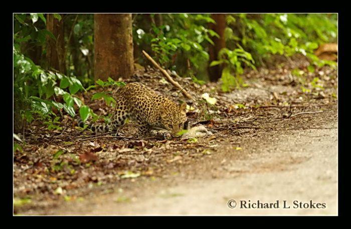 Leopard.gibbon1.jpg