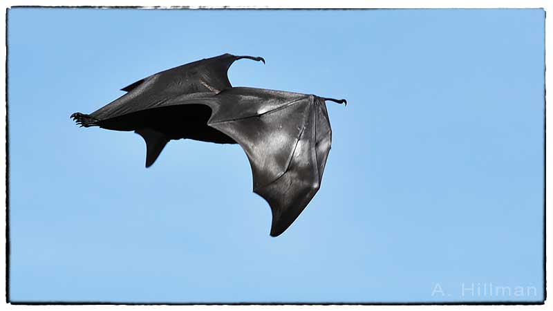 Great Flying Fox Sites