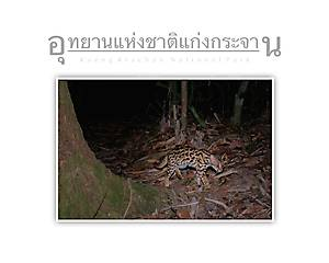 Kaeng Krachan National Park  Leopard Cat