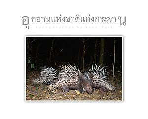 Kaeng Krachan National Park Porcupines