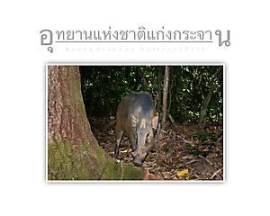Kaeng Krachan National Park Wild Pig