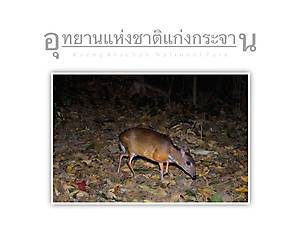 Kaeng Krachan National Park Mouse deer