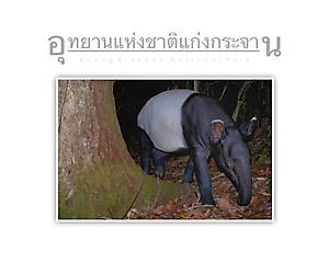 Kaeng Krachan National Park Tapir