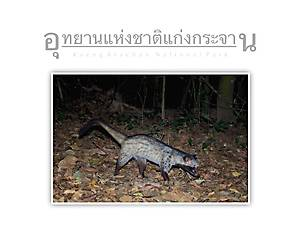 Kaeng Krachan National Park Common Palm Civet