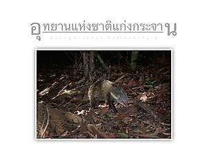 Kaeng Krachan National Park Mongoose