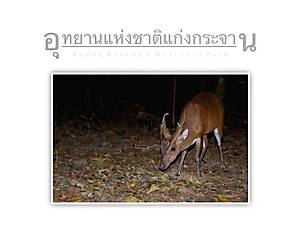 Kaeng Krachan National Park Red Muntjac