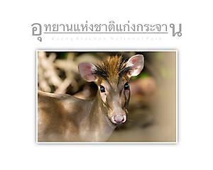 Kaeng Krachan National Park Feas Muntjac