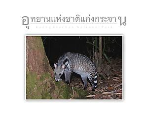 Kaeng Krachan National Park Large Indian Civet