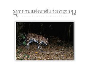Kaeng Krachan National Park Leopard